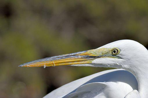 Great White Heron, Heron, Egret, Bird, Tropical, Water