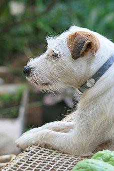 Jack Russel Dog, Dog, Canine, Pet, White