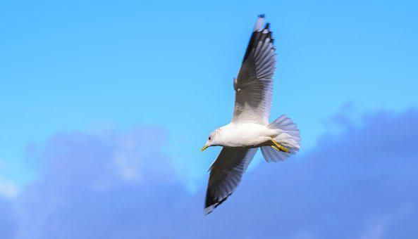 Bird, Gull, Nature, Wildlife, Wild, Feather, Wing