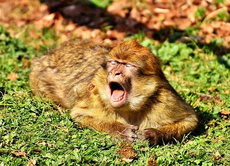 Barbary Ape, Yawn, Cute, Endangered Species