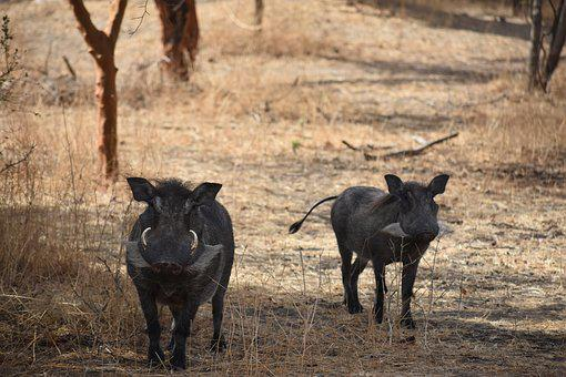 Warthog, Safari, Africa, Animal, Wild, Wildlife, Mammal