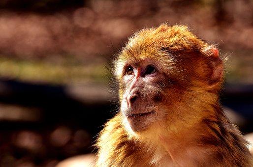Barbary Ape, Animal, äffchen, Monkey, Monkey Portrait