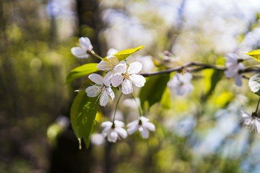 Cherry Tree, Cherry Blossom, Blossom, Bloom