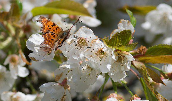 Butterfly, Robert-the-devil, Cherry