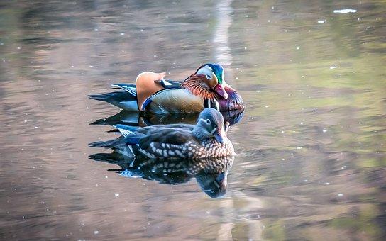Mandarin Ducks, Duck, Colorful, Males, Female
