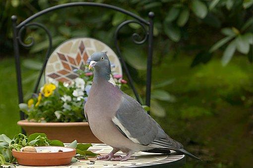 Dove, Ringdove, Bird, Columba Palumbus, Foraging