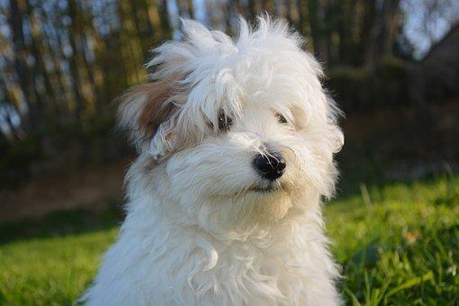 Dog, Puppy, Cotton Tulear, White, Animal, White Fur