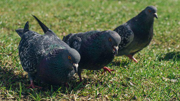 Pigeons, Three Pigeons, Feathered Race