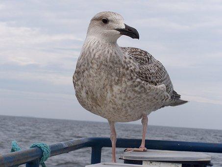 Trut, Bird, Friend, Springs, Gull Animals World