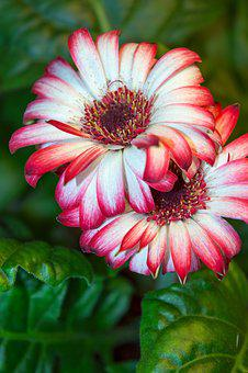 Gerbera, Gerbera Flowers, Flower, Beautiful Flower