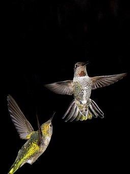 Hummingbird, Night, Bird, Animals, Flying, Fluttering