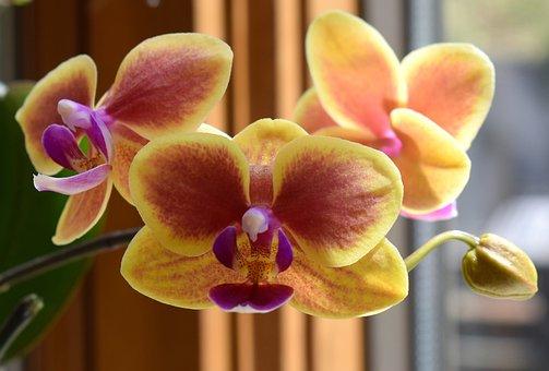 Hybrid Phalaenopsis, Phalaenopsis, Orchid, Yellow, Pink