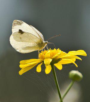 White, White Ling, Butterflies, Insect, Butterfly