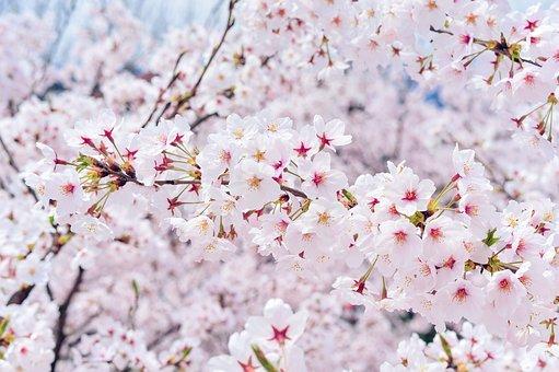 Japan, Landscape, Spring, Plant, Cherry Blossoms