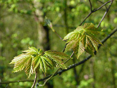 Maple Leaves, Young Leaves, Fresh Green