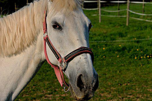 Horse, Halter, Coupling, Mount, Horse Head, Animal