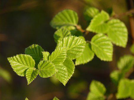 Beech, Spring, Leaves, Branch, Green, Forest, Nature