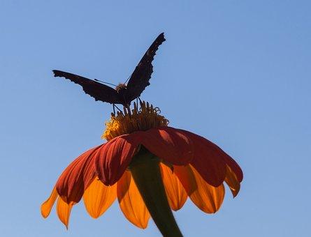 Mexican Sunflower, Flower, Summer, Nature, Garden