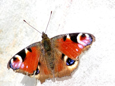Peacock Butterfly, Butterfly, Peacock, Edelfalter