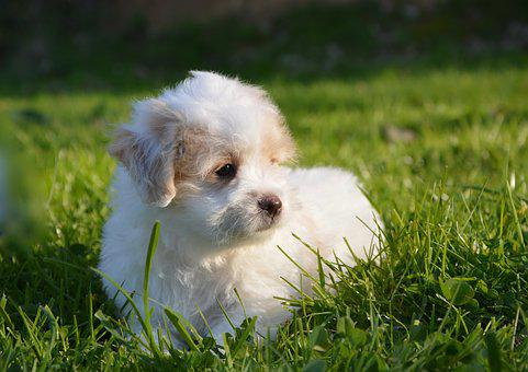 Dog, Puppy, Cotton Tulear, Petit, White, Animal