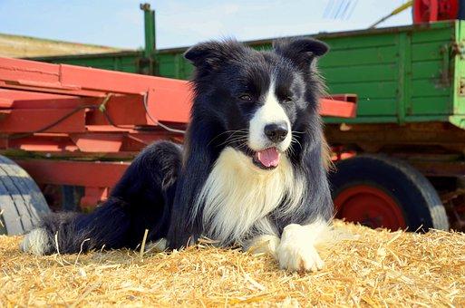 Boder Collie, Dog, Herding Dog, Purebred Dog