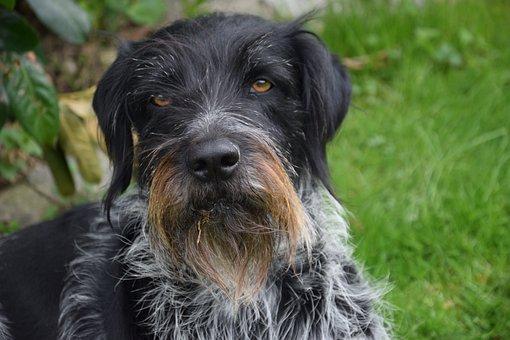 German Wirehaired, Dog, Purebred Dog, Hunting Dog