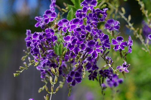 Duranta Geisha Girl, Flower, Purple
