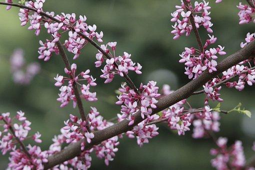 Redbud, Tree, Redbud Tree, Spring, Pink, Flowering