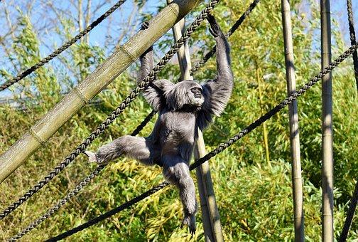 Silver Gibbon, Javan Gibbon, Hylobates Moloch, Monkey