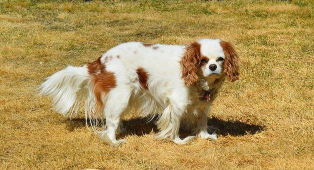 Dog, Cavalier King Charles, Spaniel, Pet, Canine