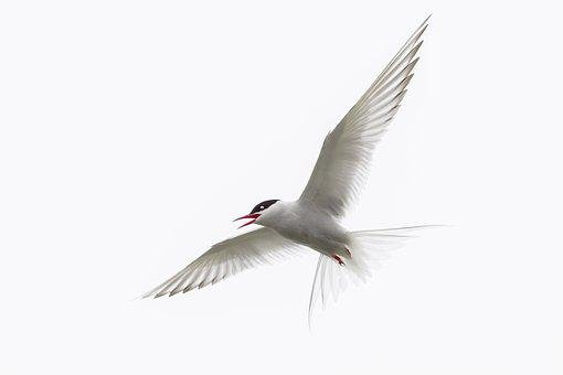Arctic Tern, Iceland, Bird, Wild Animal