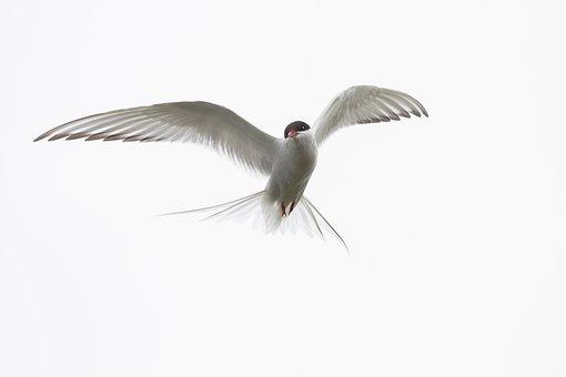 Arctic Tern, Iceland, Wild Animals, Birds