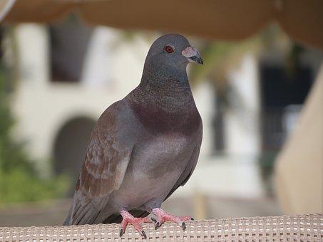 Domestic Pigeon, Bird, Gray, Feathers