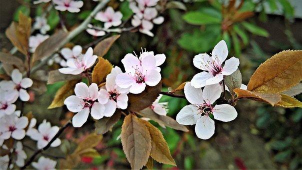 Blood Plum, Flowers, Plant, Rotlaubige Cherry Plum