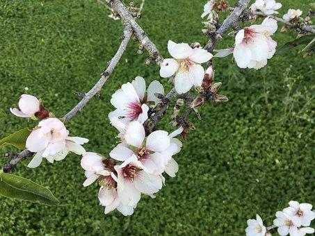 Almond, Flower, Floral, Spring, Pink, Nature, Blossom