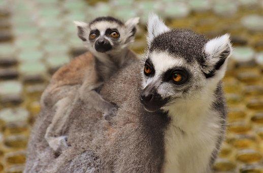 Ape, Lemur, Cute, Mama, Child, Young Animal, äffchen
