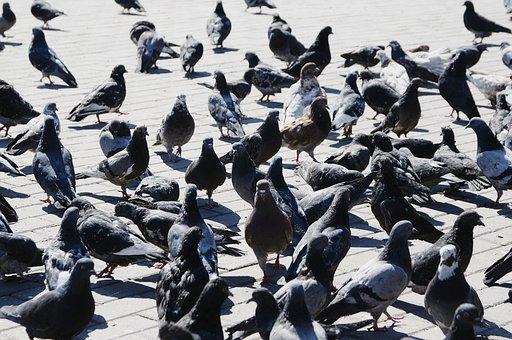 Pigeons, Bird, City, A Flock Of
