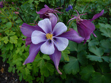 Columbine, Flower, Blossom, Bloom, Common Akelei, Flora