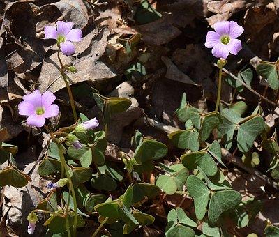 Wood Sorrel, Wildflower, Flower, Blossom, Bloom, Spring