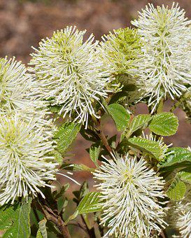 Fothergilla, Witch-alder, Wildflower, Flower, Blossom