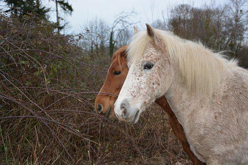 Horse, Horses, Equines, Head, Animal, White, Brown