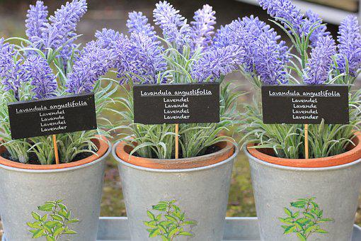 Flower, Lavender, Purple, Plant, Lavender Flower