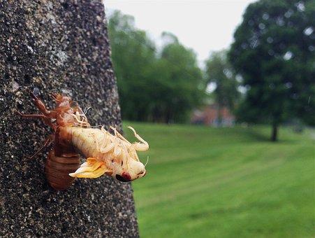 Cicada, Molting, Ecdysis, Shell, Magicicada, Moulting