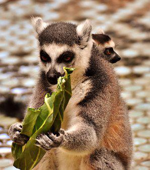 Monkey, Lemur, Eat, Mother, Child, Cute, Zoo, äffchen
