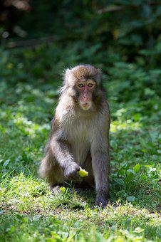 Monkey, Forest, Meadow, Apple, äffchen, Nature