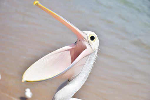 Pelican, Bird, Sea, Animal, Wings, Open Beak, Natural