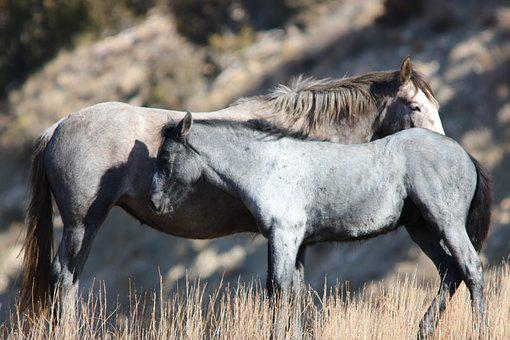 Wild Horses, Mare, Mustang, Foal, Wildlife, Nature