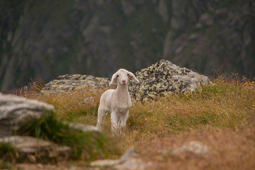 Lamb, Animal, Sheep, Schäfchen, Little Lamb