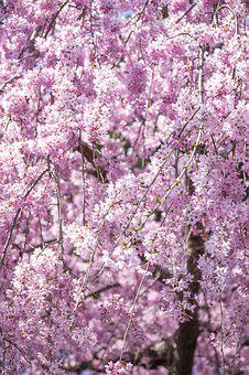 Weeping Cherry Tree, Cherry Blossoms, Flowers, Spring