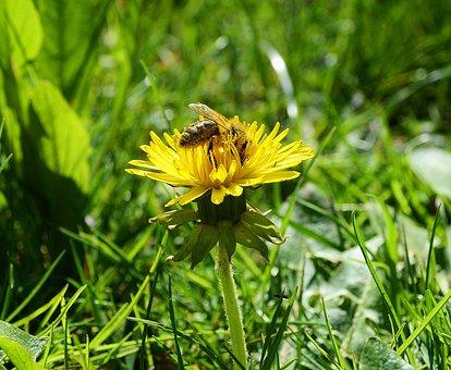 Bee, Pollen, Spring, Honey Bee, Blossom, Bloom